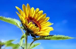 Słonecznik na słońcu